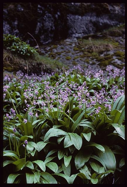 Scilla lilio hyacinthus : devinette semaine 50 15120810