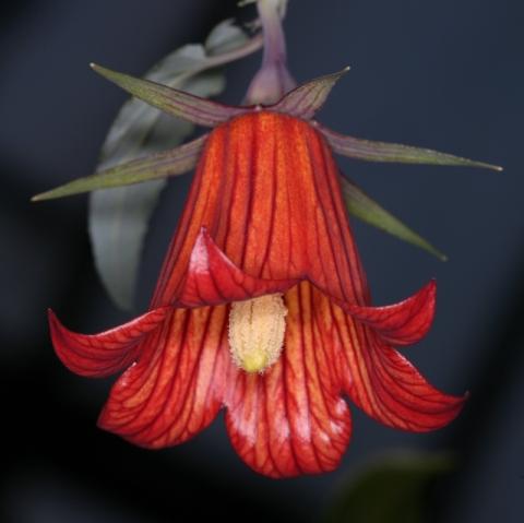 Devinette semaine 47 : Canarina canariensis Img_2910