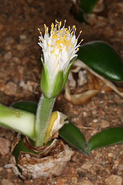 Devinette semaine 51,5 : Haemanthus pauculifolius Img_2915