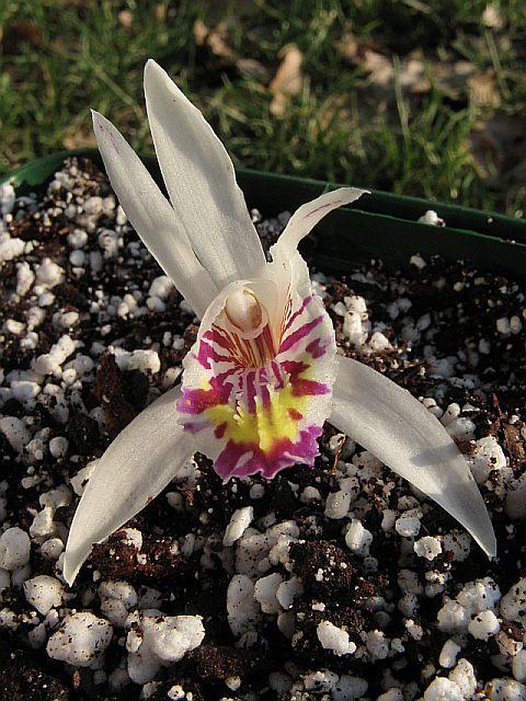 Pleione maculata Img_7522