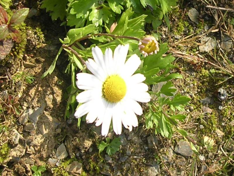 """Encore """"quelques"""" chrysanthèmes? Chrysa11"""