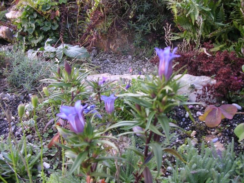 floraisons d'octobre et novembre: encore des gentianes Gentia11