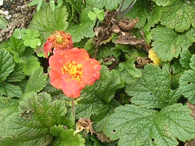 floraisons d'octobre Geum10
