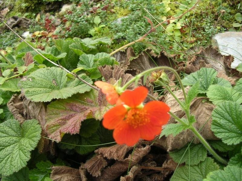 floraisons d'octobre Geum110