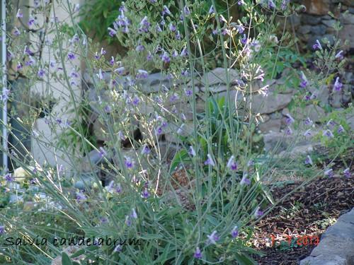 Salvia candelabrum Dsc02710