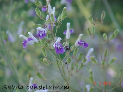 Salvia candelabrum Dsc02711