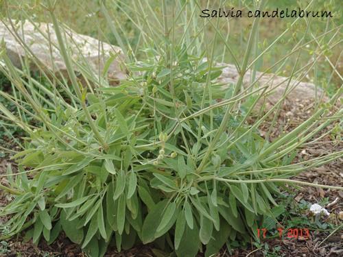 Salvia candelabrum Dsc02810