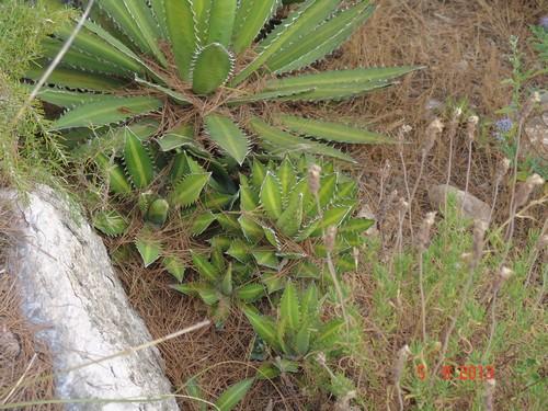 Agave lophanta  Dsc02916