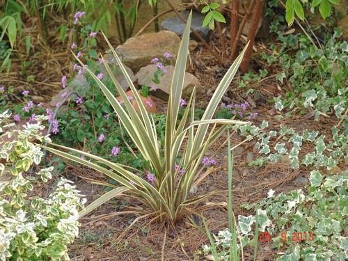 Phormium tenax purpureum Dsc03125