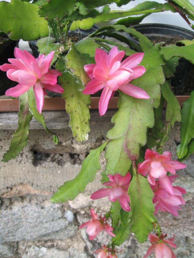 mon extérieur fleuris de mon chez moi lol - Page 4 4_13310