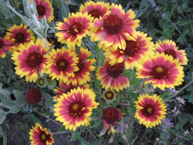 mon extérieur fleuris de mon chez moi lol - Page 3 4_26510