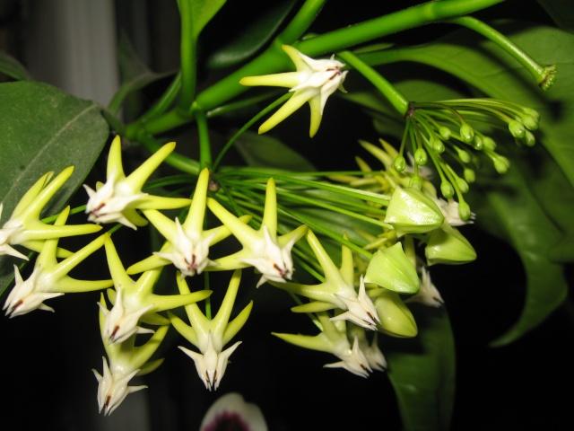 hoya multiflora en fleur - Page 5 Img_0523