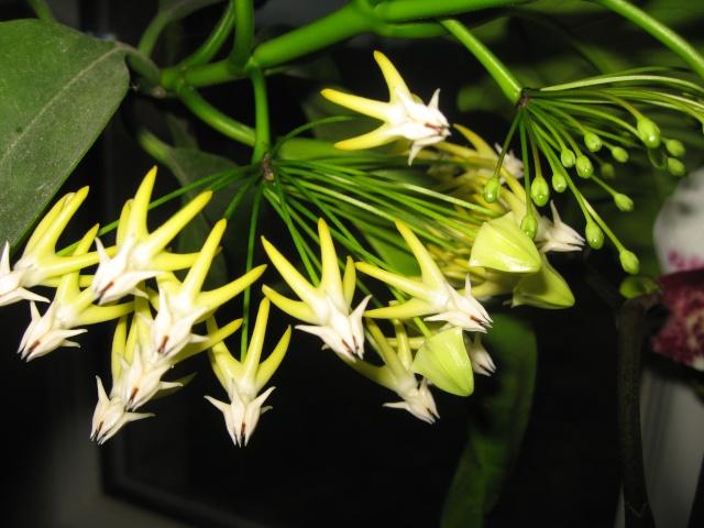 hoya multiflora en fleur - Page 5 Img_0524