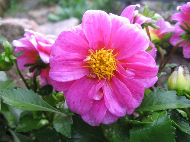 mon extérieur fleuris de mon chez moi lol - Page 5 Img_0622