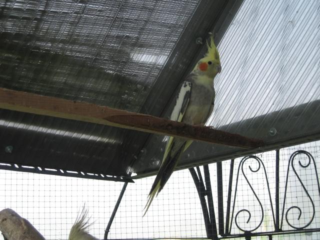 mes oiseaux exotique  Img_0712
