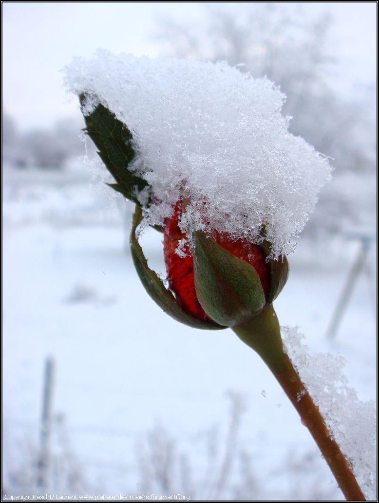 Les roses de glace ou de rosée / pluie Dsc04310