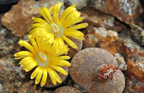 Lithops : Floraisons 2011  111
