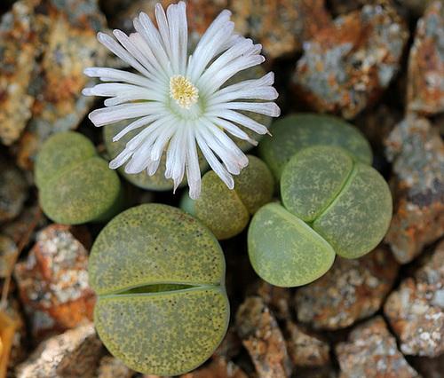 Lithops : Floraisons 2011  11528910