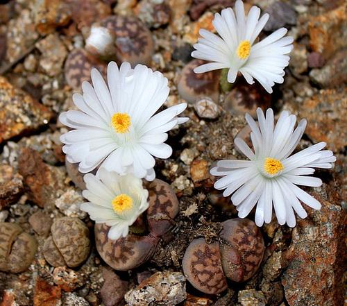 Lithops : Floraisons 2011  11665510