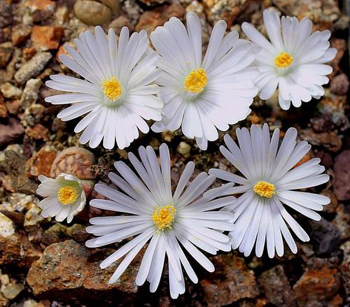Lithops : Floraisons 2011  11693910
