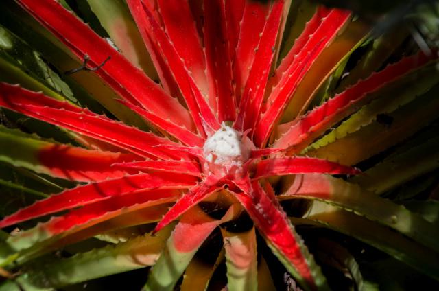 Bromelia humilis Bromel14