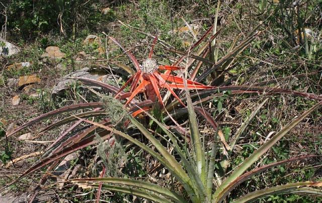 Bromelia serra Bromel18