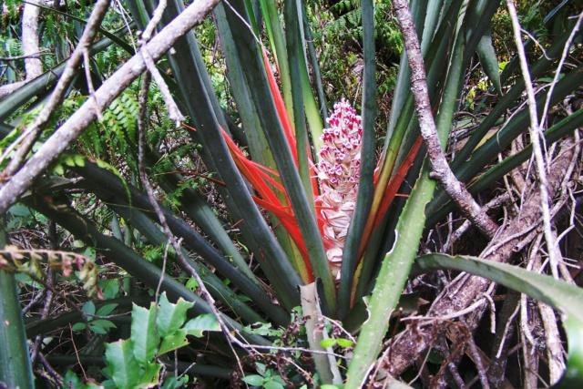 Bromelia serra Bromel19