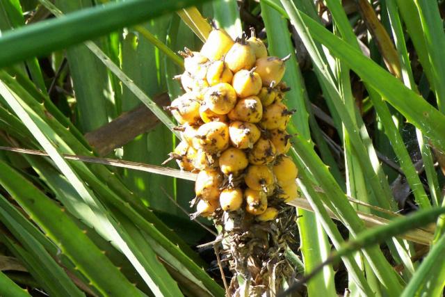 Bromelia serra Bromel22
