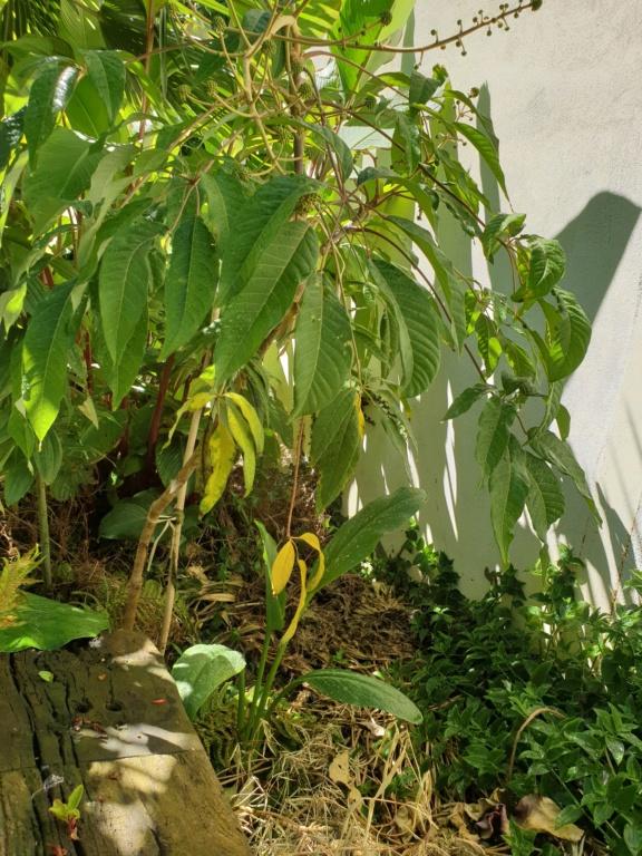 Schefflera fantsipanensis Frat10