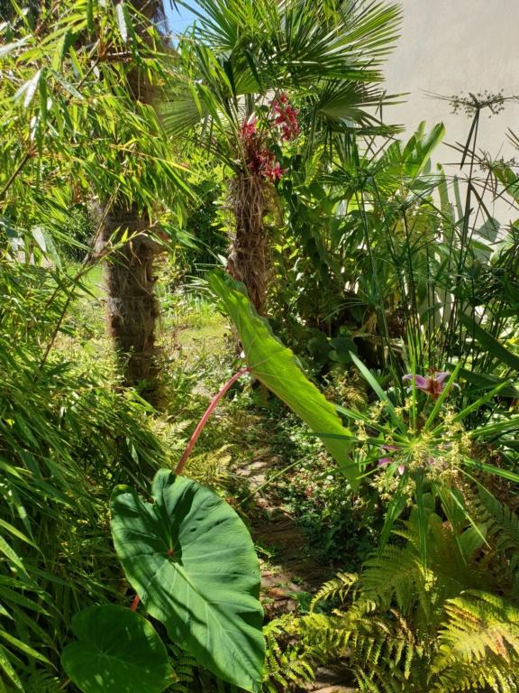 Schefflera fantsipanensis Frat11