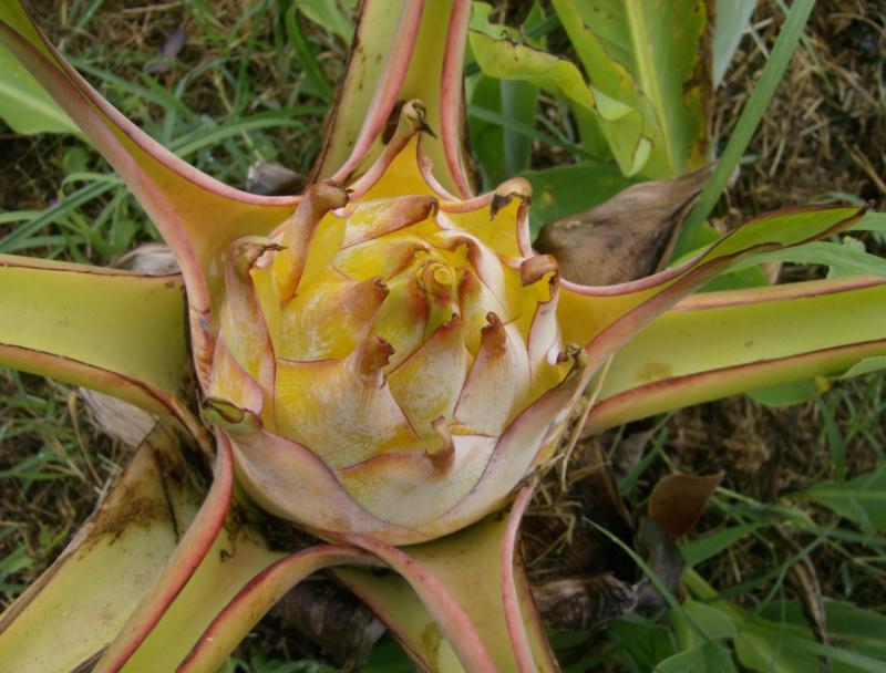 Musella lasiocarpa : floraison Hpim1824