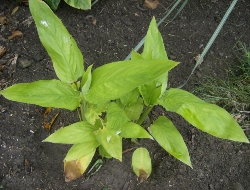 Maranta arundinacea (test de résistance des tubercules) Hpim2045