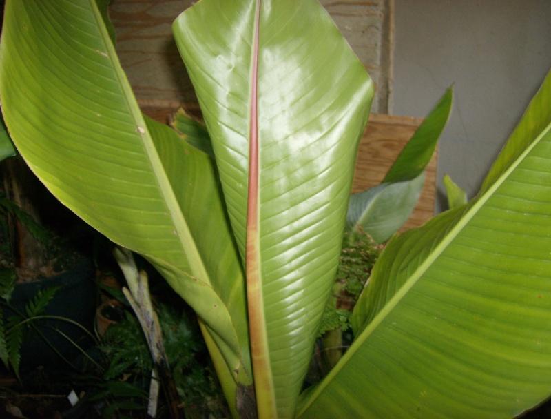 Ensete sp. (Kluay Pa/Thailand) Hpim2081