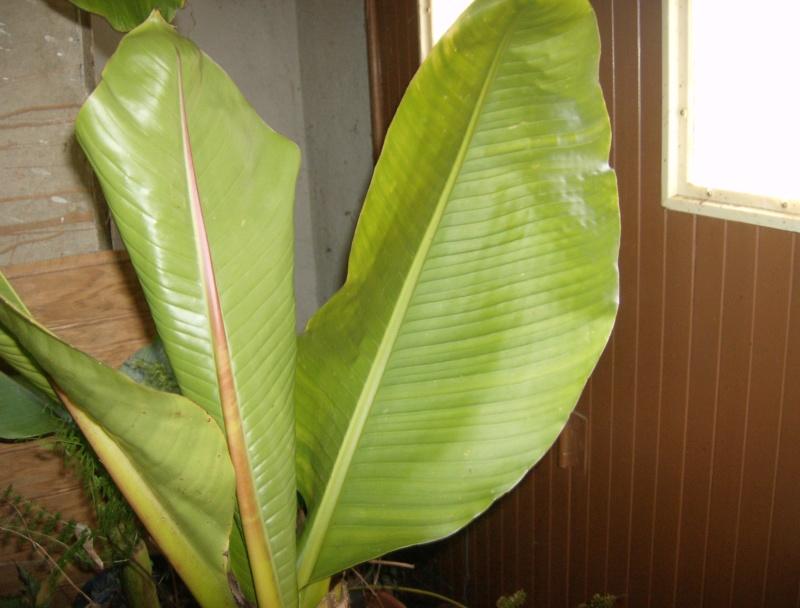 Ensete sp. (Kluay Pa/Thailand) Hpim2082