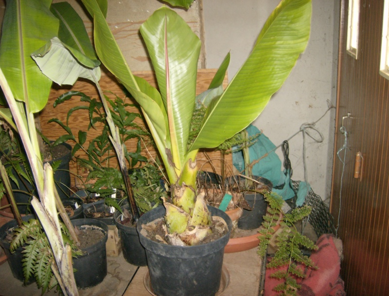 Ensete sp. (Kluay Pa/Thailand) Hpim2083