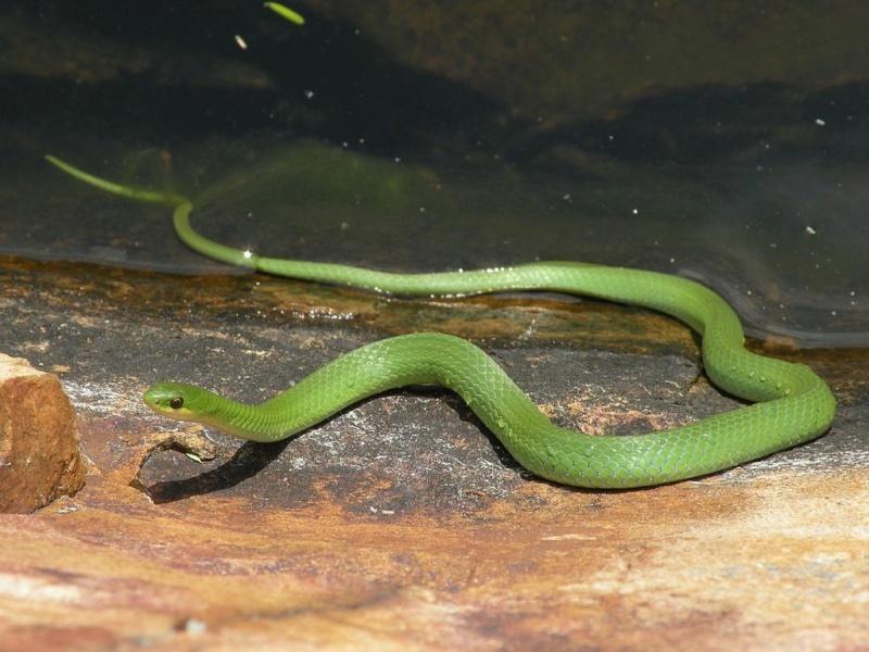 Demande de renseignement sur un serpent non identifié. Ophe10