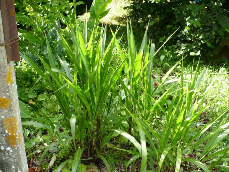 Pennisetum latifolium P1000339