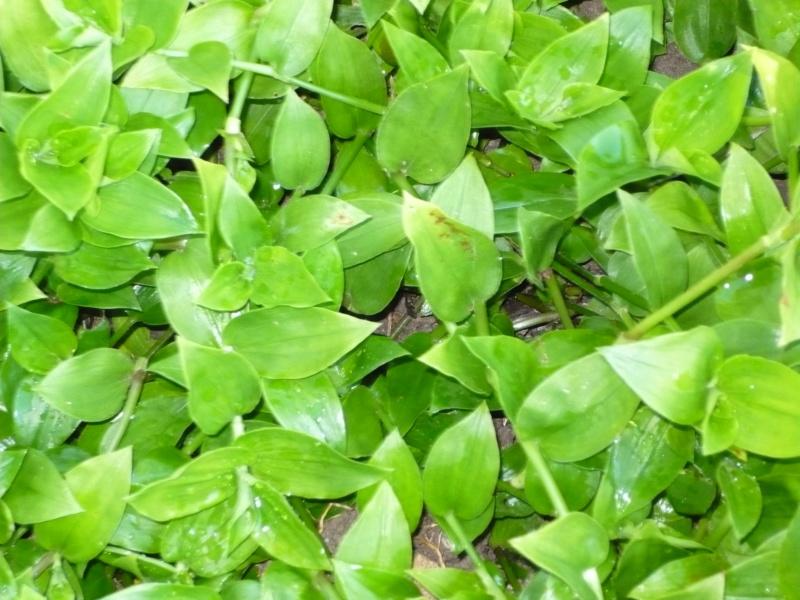 Tradescantia fluminensis : un bon moyen de limiter les mauvaises herbes P1000417