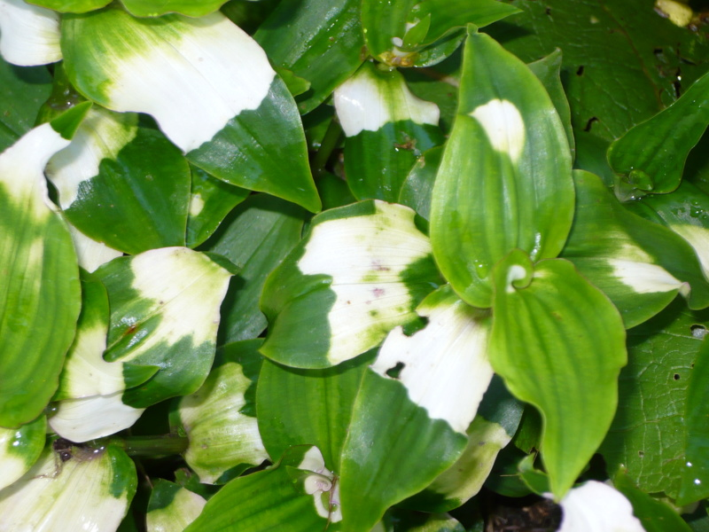 Tradescantia fluminensis : un bon moyen de limiter les mauvaises herbes P1000418