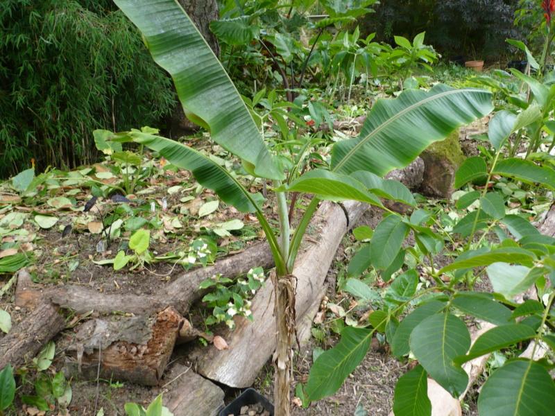 Musa griersonii P1000423