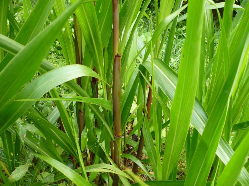 Pennisetum latifolium P1000431