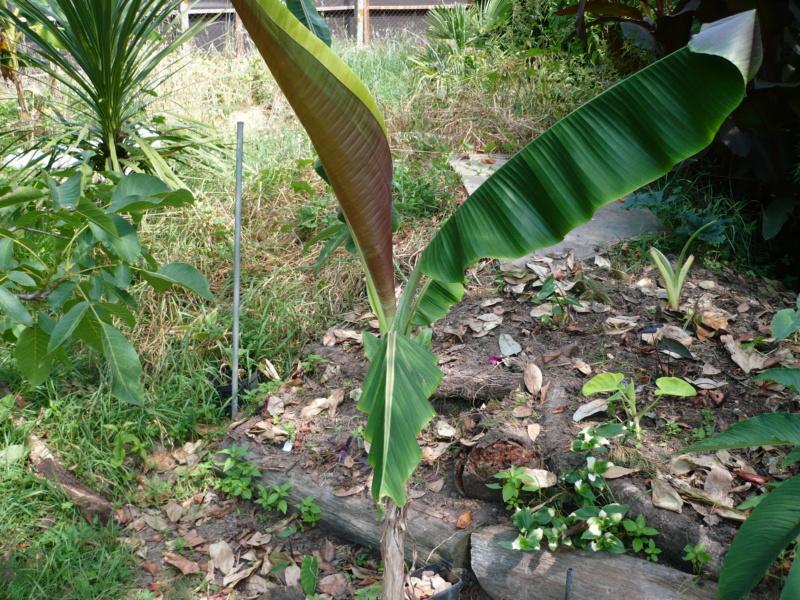 Musa griersonii P1000511