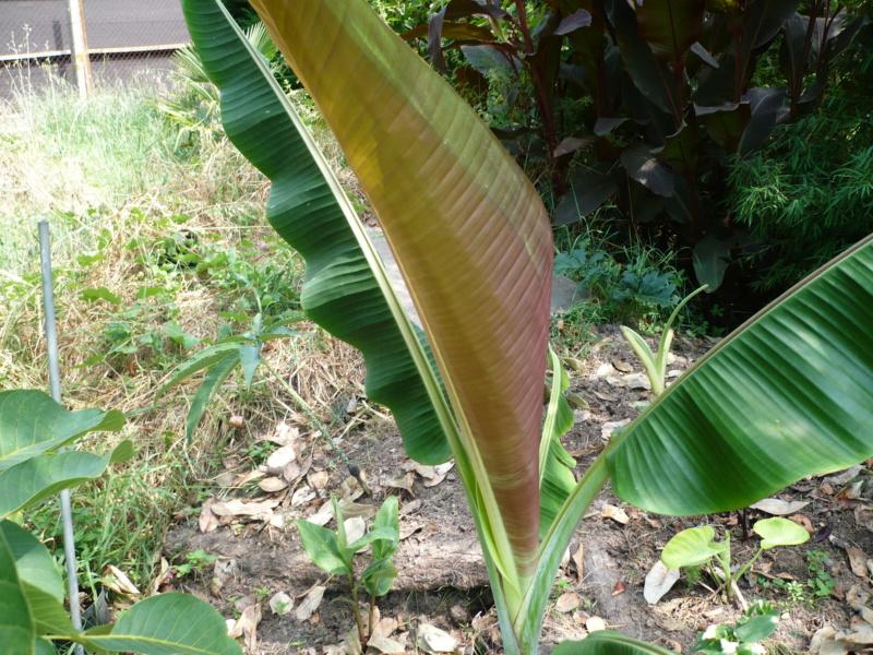 Musa griersonii P1000512