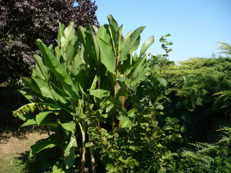 Canna musafolia 'grande' P1000525