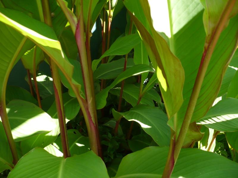 Canna musafolia 'grande' P1000526
