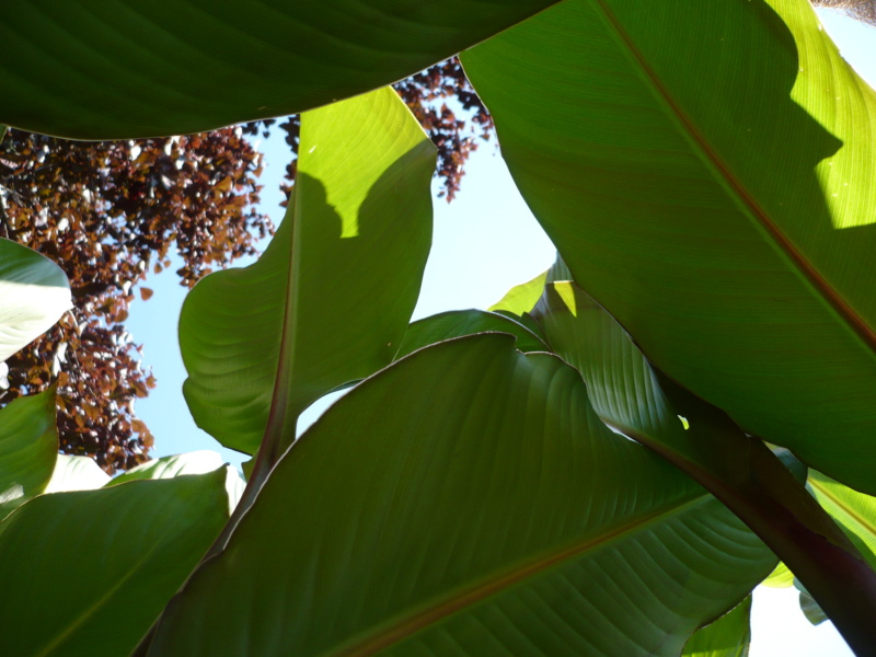 Canna musafolia 'grande' P1000527