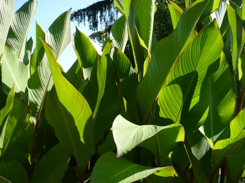 Canna musafolia 'grande' P1000528