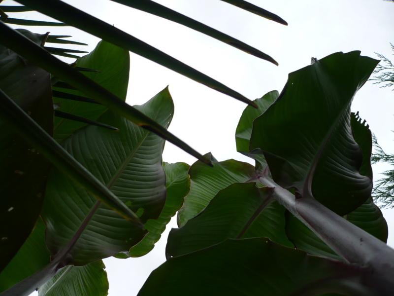 Canna musafolia 'peruviana' P1000529