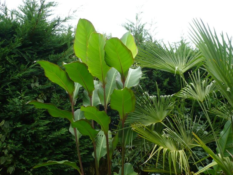 Canna musafolia 'peruviana' P1000530