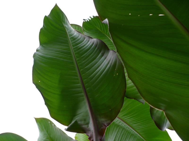 Canna musafolia 'peruviana' P1000532